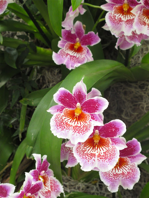 Amazing review of The Orchid Show (which opens today!) from our friend Dominique Browning. To say that she gets what NYBG curator Francisca Coelho was aiming for is an understatement. If you're on the fence about whether or not to visit us, I think Dominique will be able to convince you! ~AR (via Slow Love Life: ORCHID SHOW AT NEW YORK BOTANICAL GARDEN: BLISS)