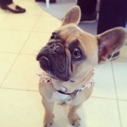 #hankthefrenchie has got his eye on you.