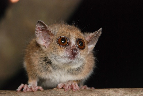 Hi, cutie-pie! This little weirdo is a mouse lemur, one of two newly discovered in Madagascar through genetic analysis. Of course as soon as we realized they were alive, we had to declare them endangered, because as people all we goddamn do is slash and burn forests (or create the conditions in which slashing and burning forests is someone else's only option for survival), but still, here they are. Sorry we've been fucking with your life before we even knew you existed, little Microcebus murinus. Read more about our new lemur friends at Scientific American's Running Ponies blog. [photo by David Haring of the Duke Lemur Center via Running Ponies]