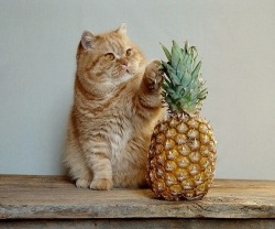 kelptomatic:  look at him so happy with his pineapple.