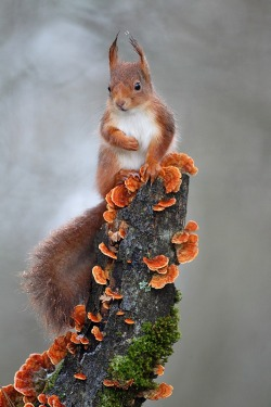 rhamphotheca:  Red Squirrel (Sciurus vulgaris), Eurasia (photo: Christophe Salin)