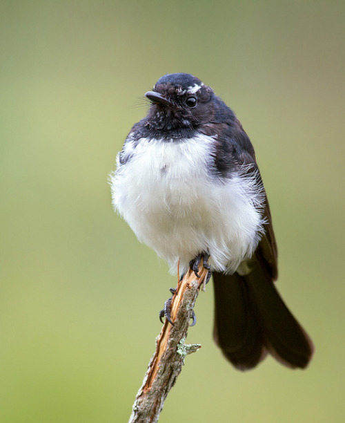 Willie Wagtail by DuadePaton on Flickr.