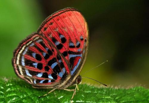 Malay Red Harlequin Butterfly by Thomas Marent