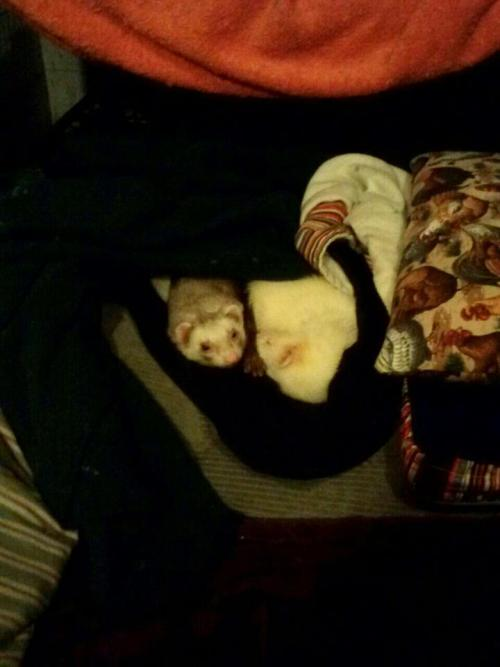 It's a really horrible cellphone photo, but hey.  Zaphod (L) and Max (R) cuddle, nestled between blankets and on top of a pile of pillows. They're just lying under the blanket, this kills me, look at Max's face, cuties stahp