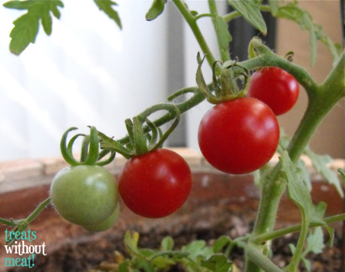 Cherry Tomatoes. Over the past year, I've been learning a lot about growing your own food (I actually run an after-school club that built an organic garden on campus at my work). I was very excited to be able to harvest my first produce. Hopefully this is just the beginning!