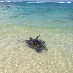 #Turtles on the #NorthShore! #beach #hawaii  (at Laniakea (Turtle) Beach)