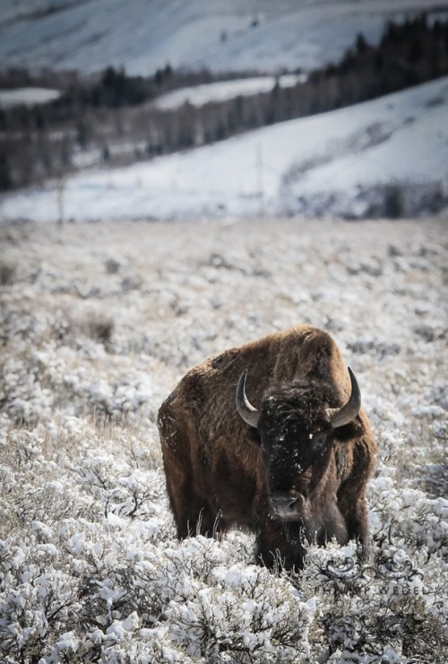 eqiunox:  Bison in Snow by Philipp Wedel on Fivehundredpx