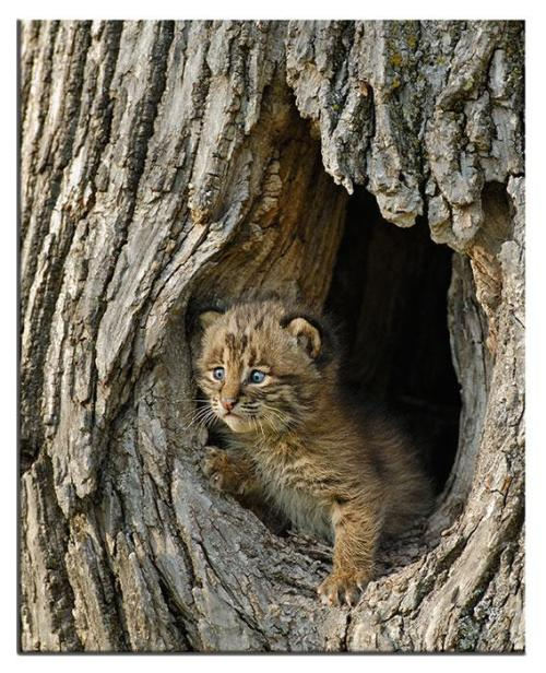 Todays Cuteness:) Bobcat baby by Connie.