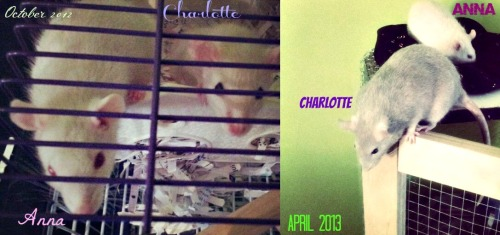 ilovefancymice:  Anna and Charlotte, my babies, even their cage has grown.