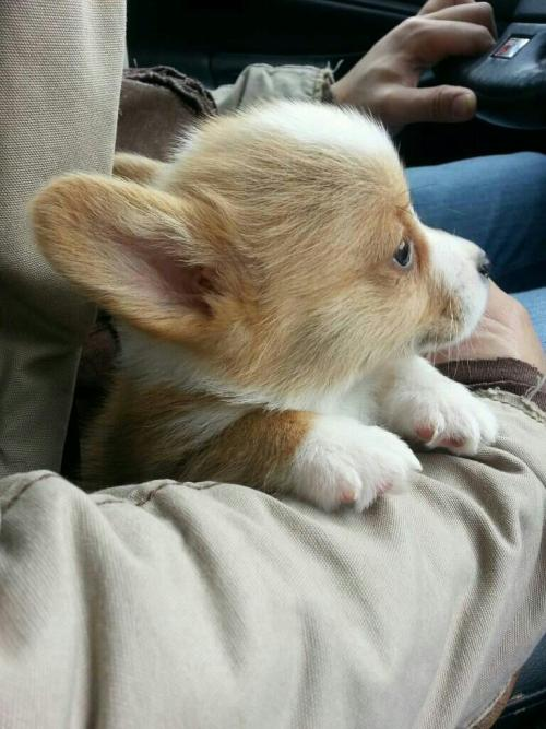 corgiaddict:  Adventure time with our new pup, Proton. submitted by vampiremermaidkitten  oh my god look at this wee little fuzzy puppy!!