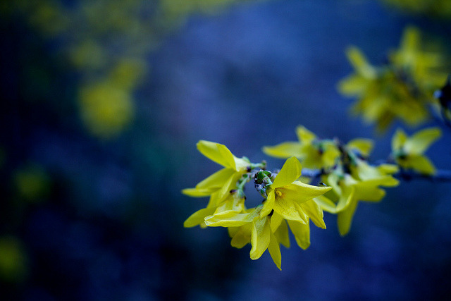 forsythia. on Flickr.