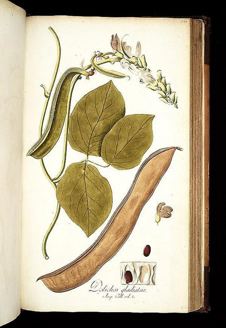 Icones plantarum rariorum by BioDivLibrary on Flickr. Vindobonae :||Londini :||Lugduni Batavorum :||Argentorati :C.F. Wappler ;||B. White et filium ;||S. et J. Luchtmans :||A. König,1781-1793..biodiversitylibrary.org/page/271519