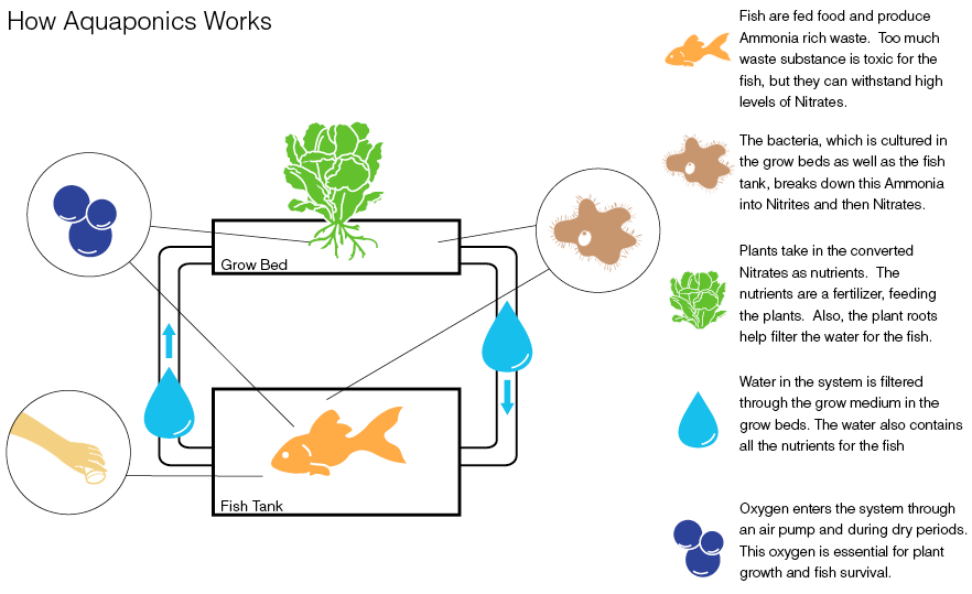 Pacific Island Trials Aquaponics for Food Supply. Will Cities be Next? | This Big City Aquaponics could hold the answer to food supply for islands in the Pacific. Many lack suitable soil for growing crops, have limited freshwater, and struggle to import fresh produce because of rising fuel costs. Moreover, a recent study by the marine conservation and advocacy group Oceana named the Cook Islands the country most at risk of food insecurity through ocean acidification, which threatens its fish stocks. Now, Rarotonga, the largest of the Cook Islands, is trialling a new aquaponic farm which combines aquaculture (raising fish in tanks) with hydroponics (cultivating plants without soil) in symbiosis. In this carbon-neutral 'closed-loop' system, nitrate-rich water from the fish tanks irrigate vegetables in nearby beds. The fish waste nourishes the plants; they in turn filter and oxygenate the water before it returns to the tanks. No herbicides, pesticides or hormones are used, and the system uses just 10% of the water required by traditional agriculture.