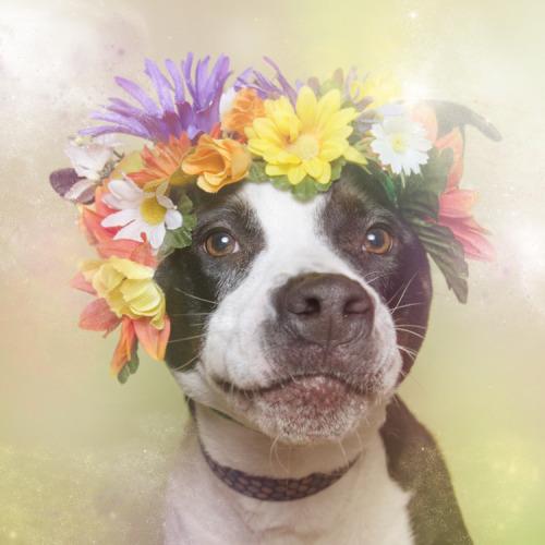 moon83:Flower Powerby Sophie GamandO objetivo da série 'Flower Power' é desmistificar a imagem perigosa e agressiva criada em torno dos cães da raça Pit Bull: