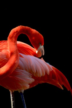 eqiunox:  Caribbean Flamingo by Tina Nicole on Fivehundredpx
