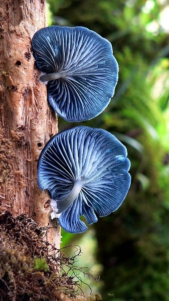 shroom-girl:  Blue mushrooms