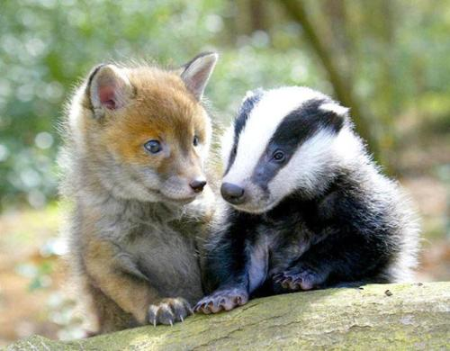 llbwwb:   fox and badger by Bob21.
