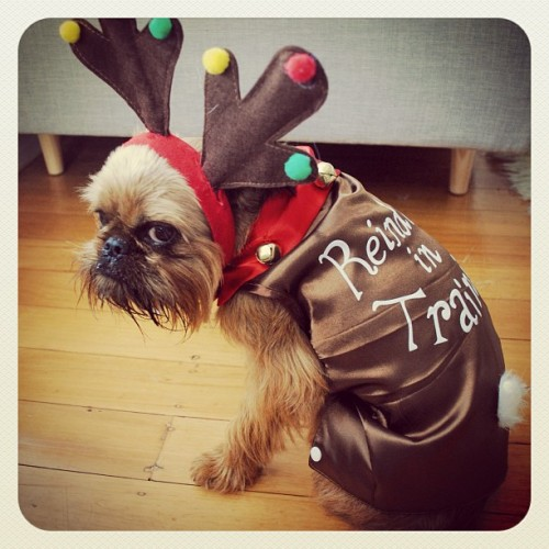 Digby Van Winkle - not so much loving the reindeer look. This reindeer in training is a little upset because Santa just told him he's not ready to deliver presents this year and has to wait for next. He's plotting to ruin Christmas now 😜 #thedigbydaysofchristmas - @digbyvanwinkle- #webstagram