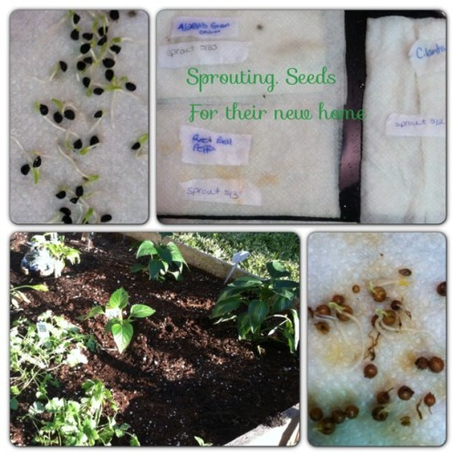 Sprouting on paper towels for their new home #homegarden green onions, bell peppers, cilantro