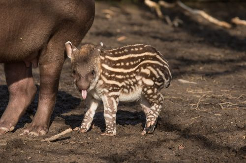 more-than-random:  Tapir Calf  Howletts Wild Animal Park  the most adorable, yet most awkward animal in all the land