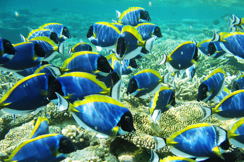 tiny-creatures:  Parade of Blue Surgeon Fish ~ ii by m o d e on Flickr.