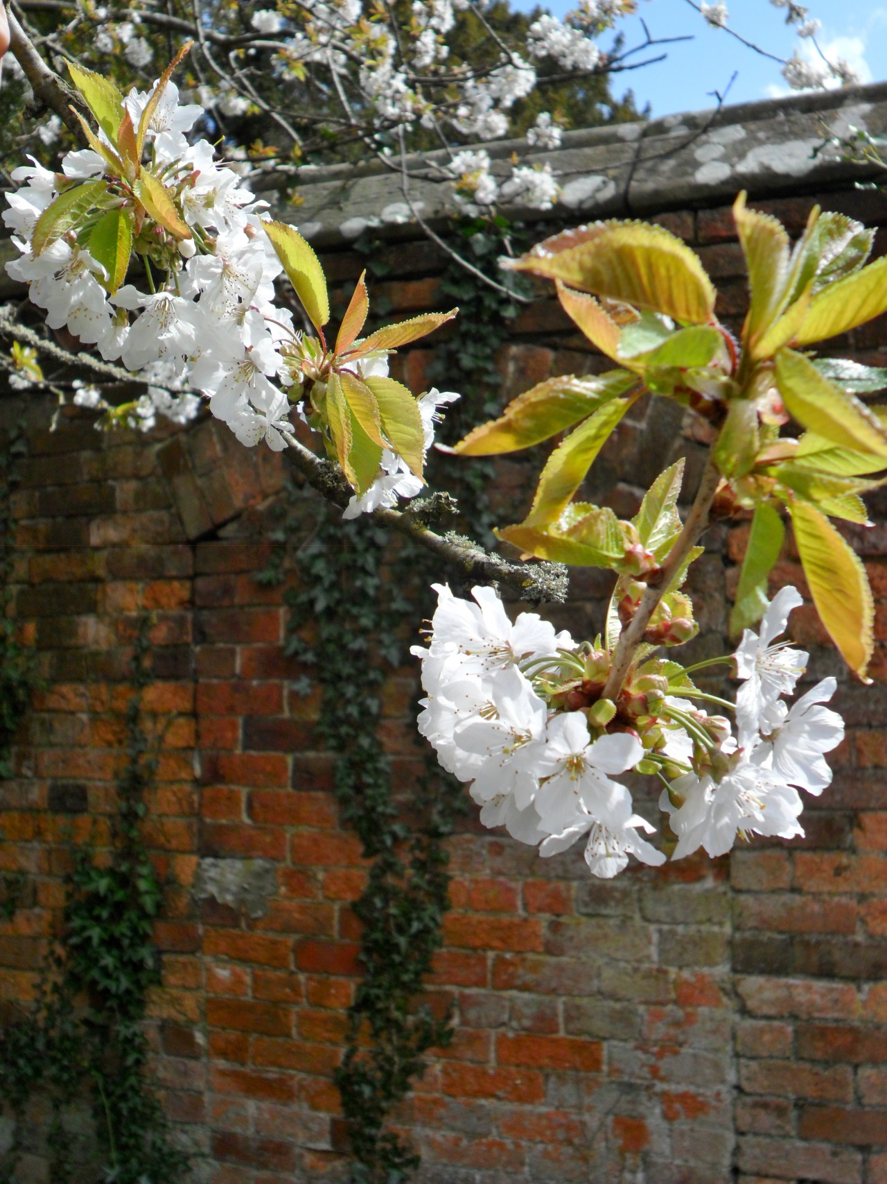 vwcampervan-aldridge:  Cherry Blossoms in the walled garden at Middleton Hall, Warwickshire, England All Original Photography by http://vwcampervan-aldridge.tumblr.com