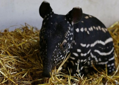 Baby Tapir of the Day