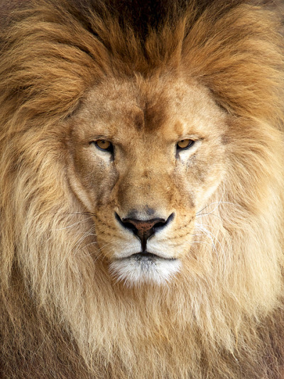 beautiful-wildlife:  Lion by MaxFromEarth on Flickr.