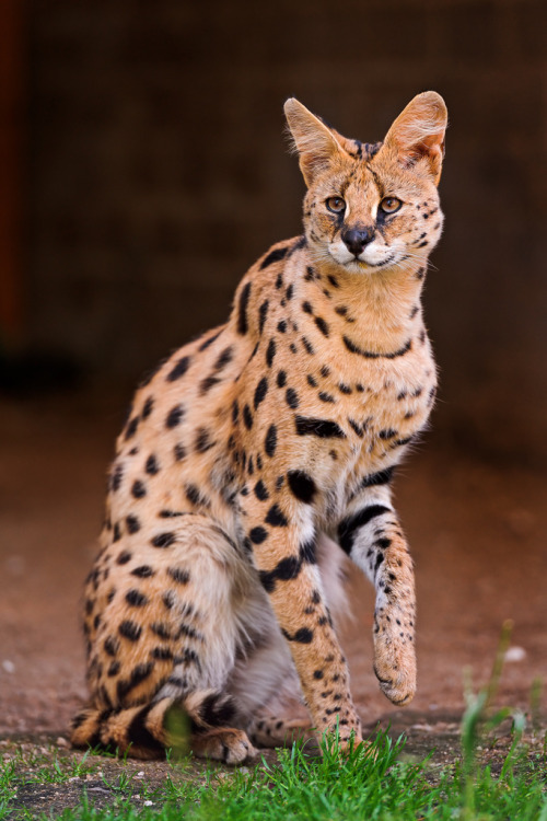 magicalnaturetour:  Proud standing serval (by Tambako the Jaguar)
