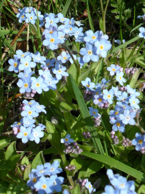 vwcampervan-aldridge:  Forget-me-not , Middleton Hall, Warwickshire, England All Original Photography by http://vwcampervan-aldridge.tumblr.com