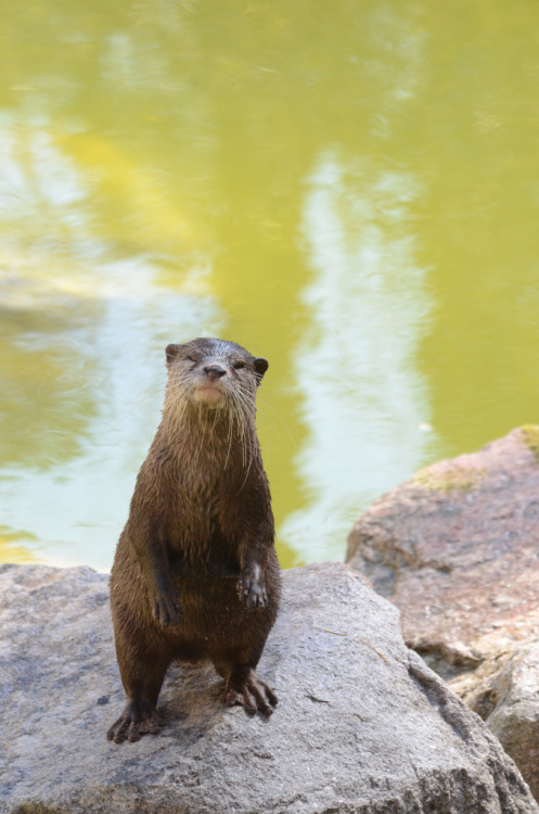 aesthecia:  Oriental small-clawed otter (by mellting)