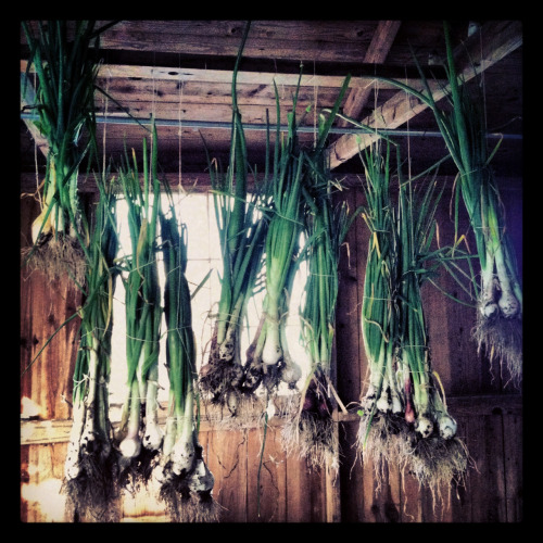 drying our garlic and onions
