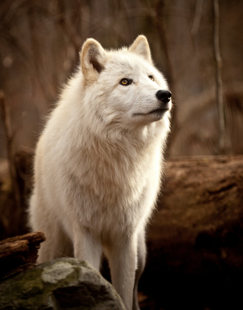 "makepeacearts:  ""Lakota Wolves"" by Paul Michael Kane"