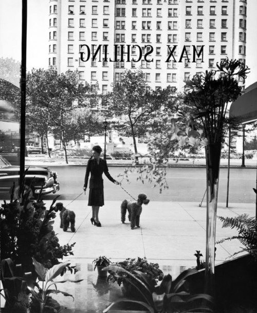 "lostsplendor:  ""A woman walks her poodles along Fifth Avenue in October 1942"" New York City, By Alfred Eisenstaedt (via LIFE)"