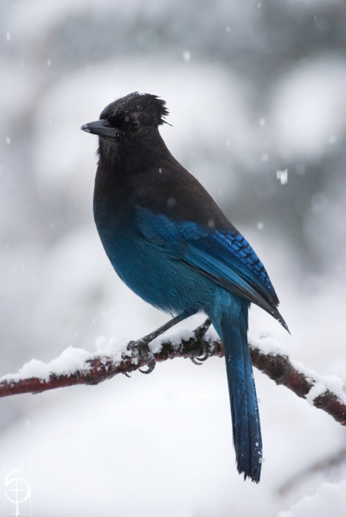fairy-wren:  Steller's Jay. Photo by schochin