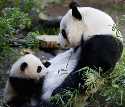 Mother panda Bai Yun feeds her five-month-old male cub Xiao Liwu at the San Diego Zoo.  Picture: Gregory Bull/AP