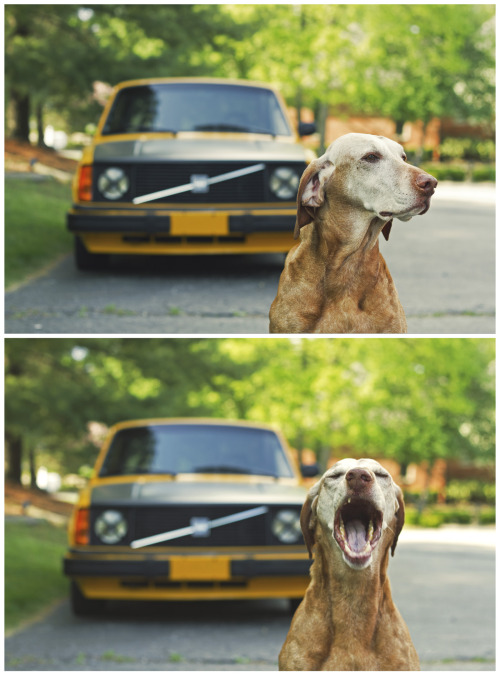 thatyellowvolvoguy:  My dog isn't very photogenic lol