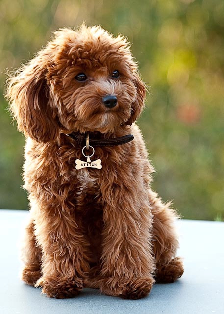 And here's my dream pup. (But Wilkes is all the puppy I need.)