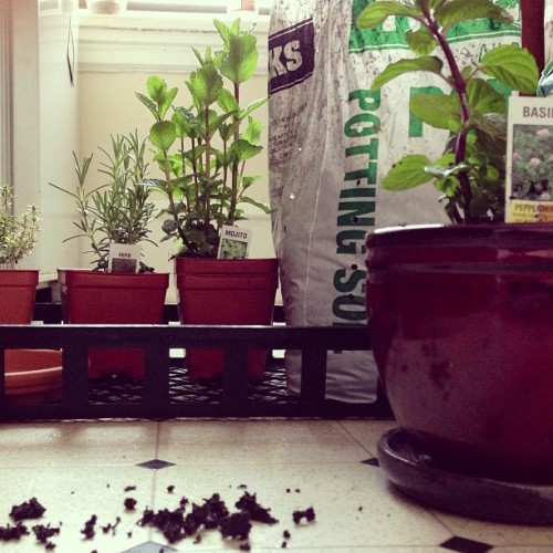 Potting my kitchen herb garden. 🌿🌾🌱