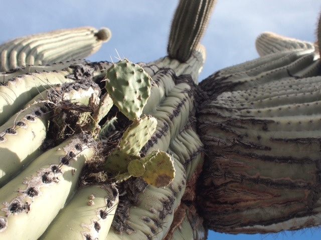 Prickly Pear Cactus growing out of a Saguaro.