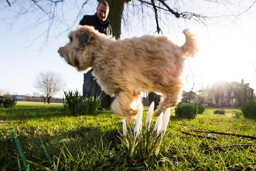 A dog runs past spring flowers starting to bloom on the Stray in Harrogate, North Yorkshire Photograph: Jonathan Pow/PA  Share your early signs of spring pictures with us via Flickr.