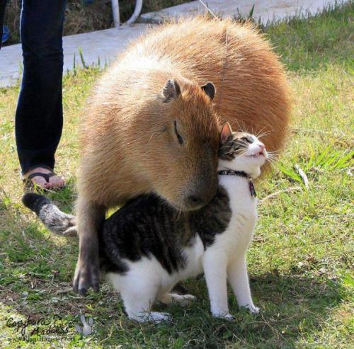 cute-overload:  Cat and Capybarahttp://cute-overload.tumblr.com  Ack!