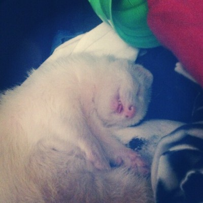 How Draco sleeps :) #ferret #asleep #albino #draco