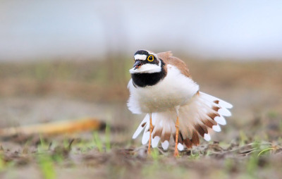 Little Ringed Plover. Photo by FrancoBorisWildlife