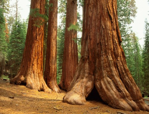 The Mariposa Grove of Giant Sequoias, the largest of three sequoia groves within Yosemite National Park, contains approximately 500 mature giant sequoias. The significance of this grove was recognized by Abraham Lincoln when he signed the Yosemite Grant on June 30, 1864, a landmark bill that set aside and protected Yosemite Valley and the Mariposa Grove. The giant sequoias are among the largest and oldest living things on earth.Photo: National Park Service