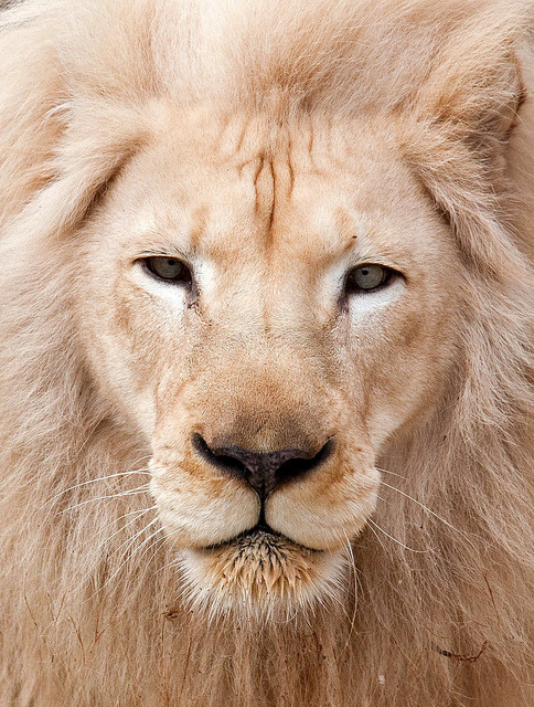 funnywildlife:  White King!!