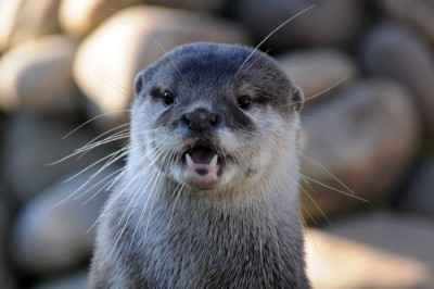 dailyotter:  Otter Looks Like He Can't Believe What He's Seeing Via Joachim S. Müller