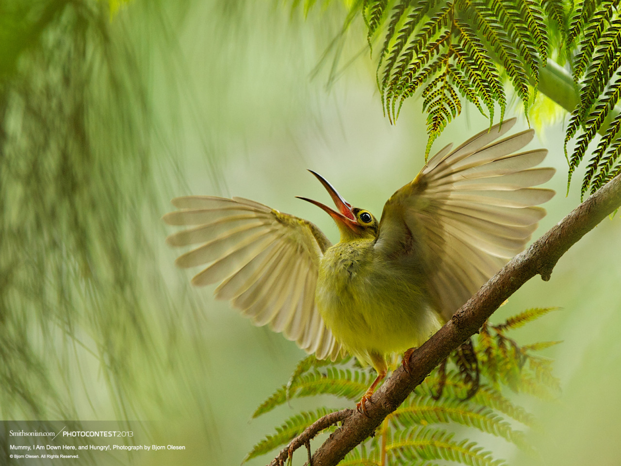 "Grand Prize Winner of Smithsonian Magazine's 2012 Photo Contest The morning this photo was taken was unusually quiet, Olesen says. ""I was about to pack my bags I heard this juvenile Spectacled Spiderhunter (Arachnothera flavigaster) calling 'chi-chit, chi-chit,' trying to attract the attention of its parents above while flapping its wings."" Olesen snapped as many shots possible before the bird flew away seconds later. ""[It was] the highlight of my Borneo Trip.""Taken with a Nikon D3. Photo by Bjorn Olesen. Wallpaper download: Desktop 