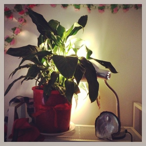 Peace lily, my room (indoor jungle 2)
