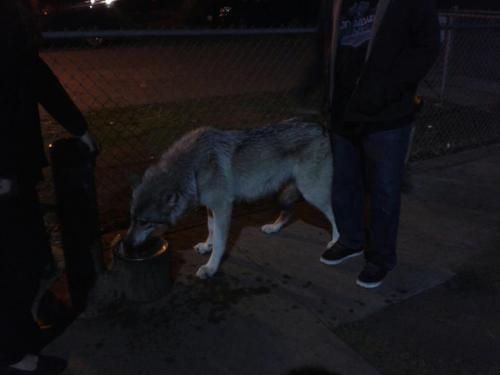 saw a wolf at the park last nite